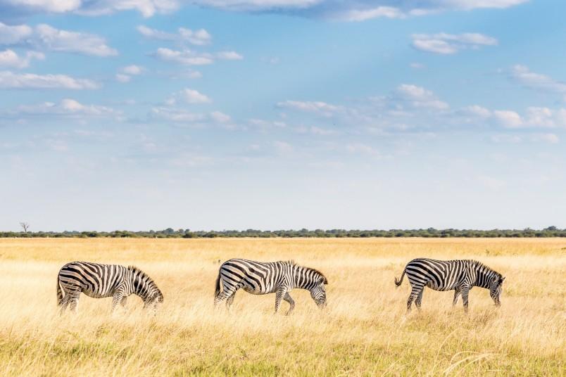 safari-afrique-zebres