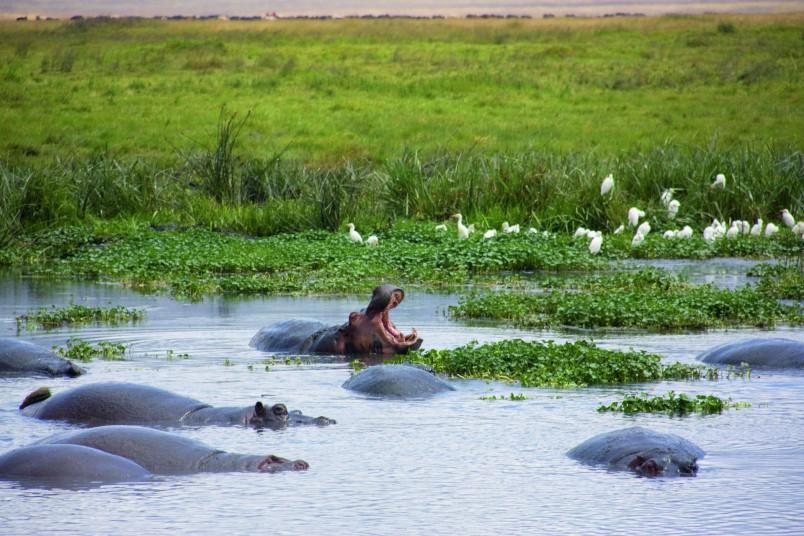 safari-tanzanie-voyage-afrique-hippopotames-nature-