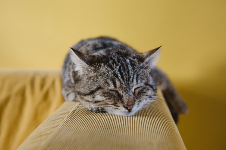 Chat qui dort sur l'accoudoir du canapé