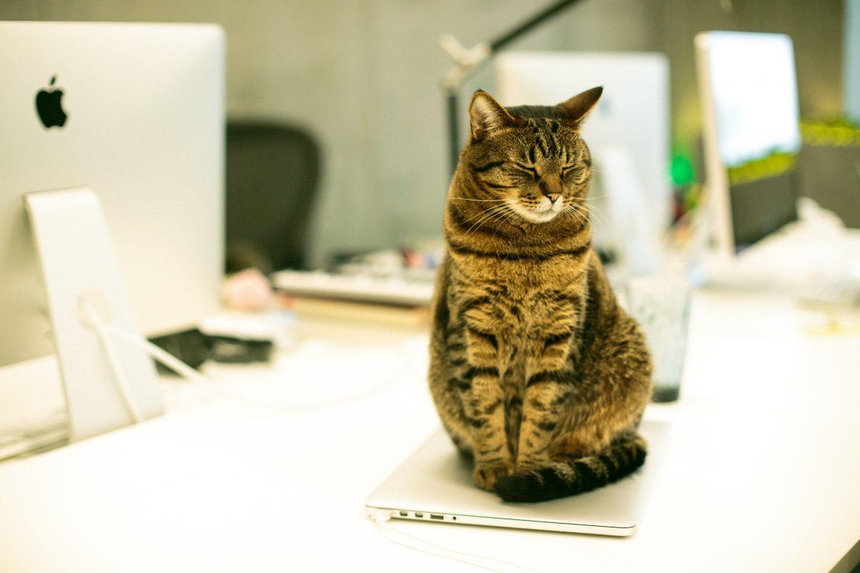 Un chat sur un ordinateur