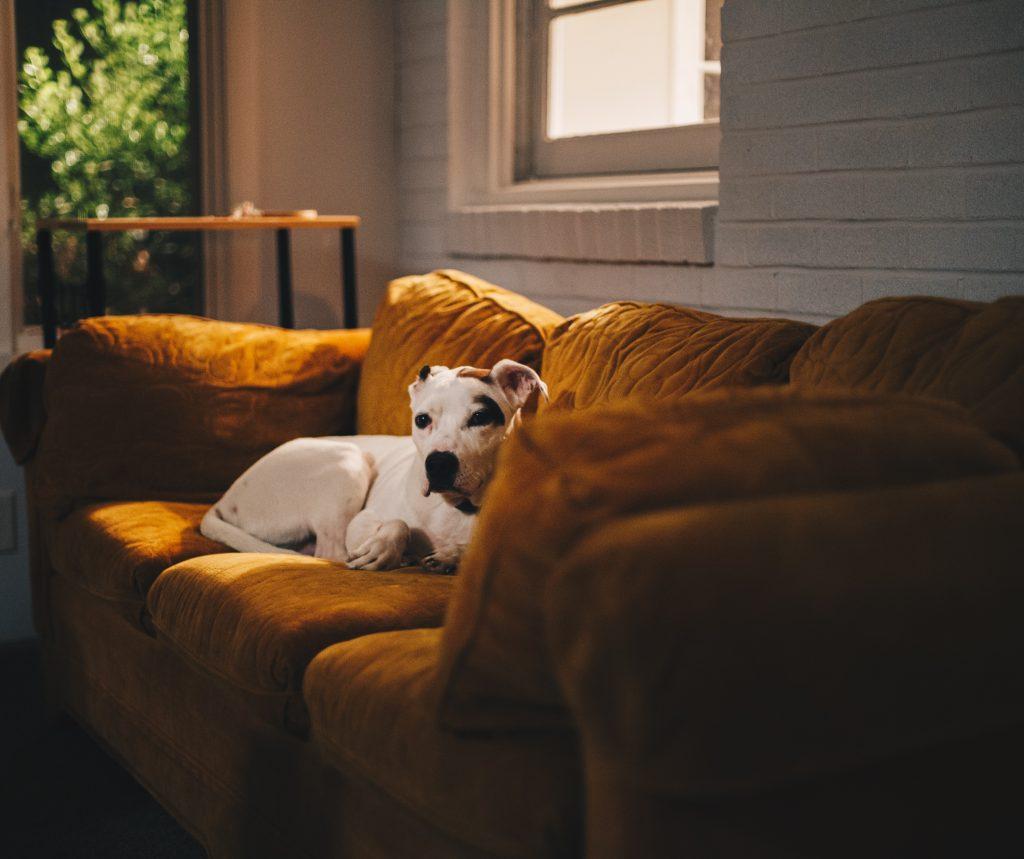 Un chien sur un canapé jaune
